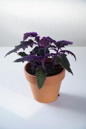Fluweelplant (Gynura Aurantica)