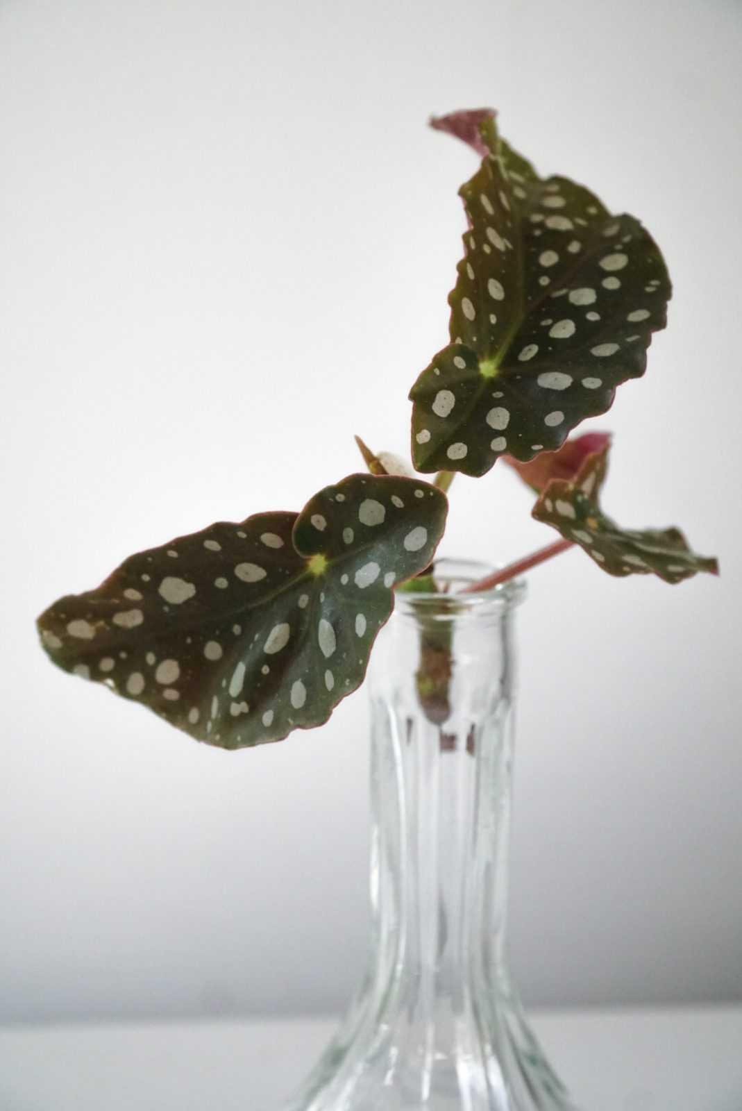 begonia maculta stippenbegonia polkadotplant polka dot polkadot kopstek plant plantje stek stekje terracotta pot potje glas glaasje rood
