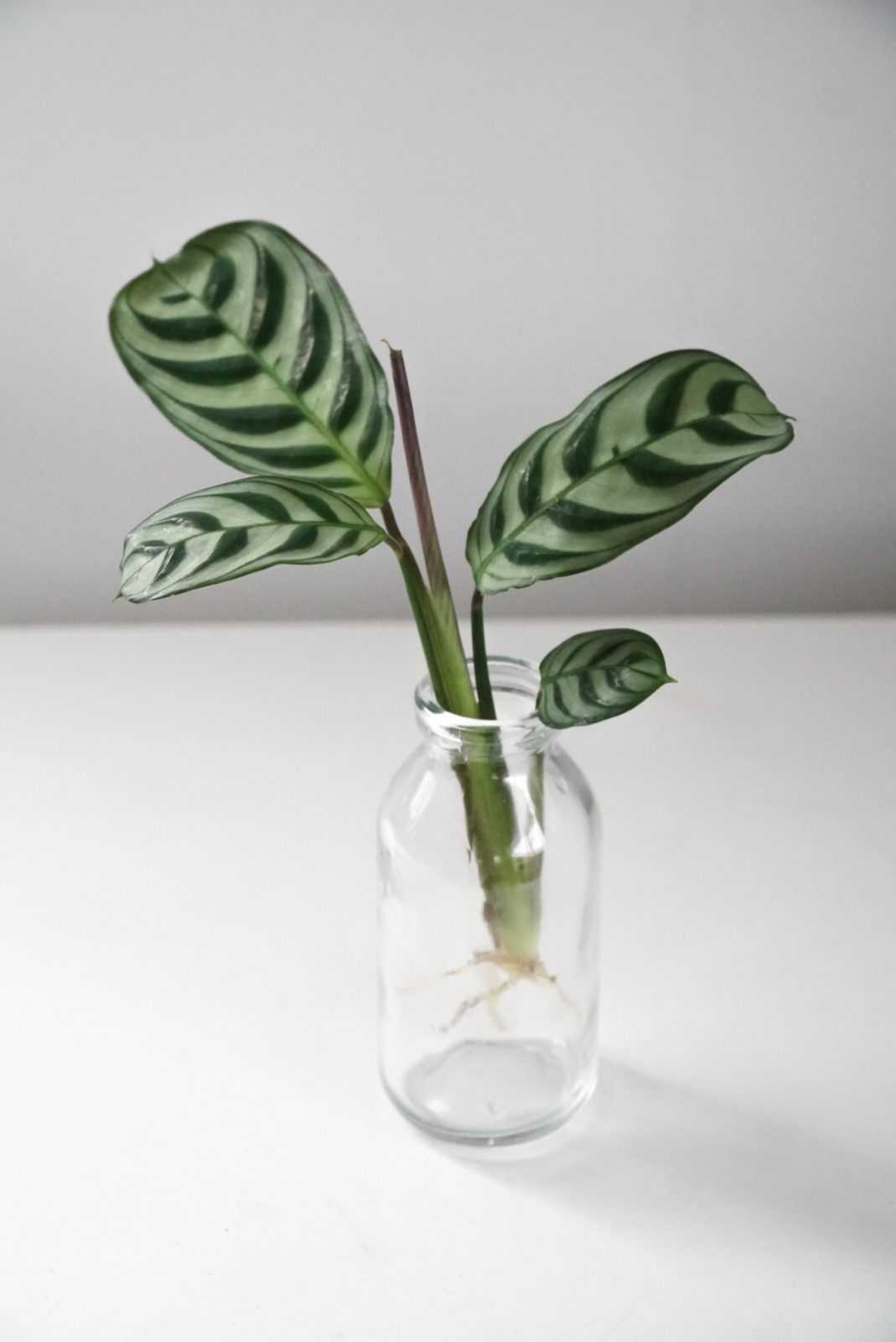 ctenanthe gebedsplant burle marxii amagris plant plantje stek stekje terracotta pot potje glas glaasje stekglas