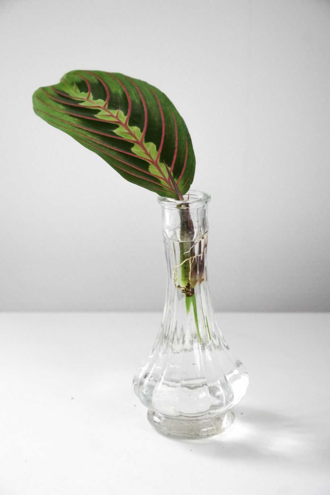 maranta leuconeura kerchoveana bladstek terracotta pot potje plant stekje plantje glas glaasje