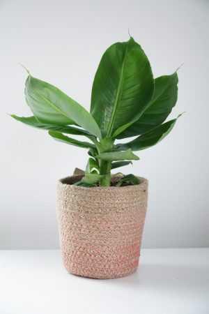 Bananenplant – (Musa Tropicana)