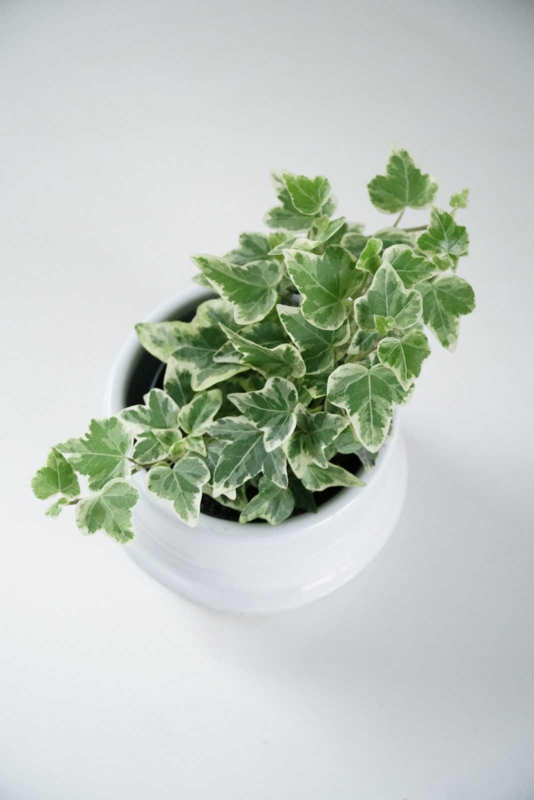 hedera helix plant plantje stek stekje terracotta pot potje glas glaasje