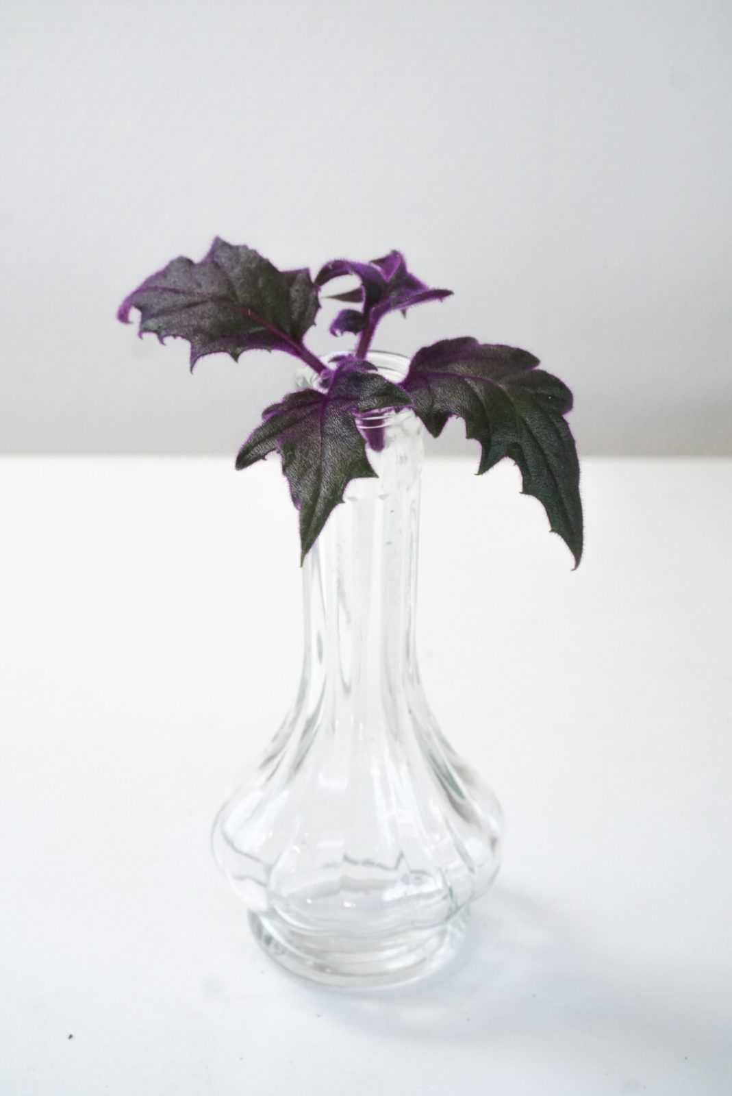 fluweelplant paars fluweel gynura stek plant pot glas glaasje