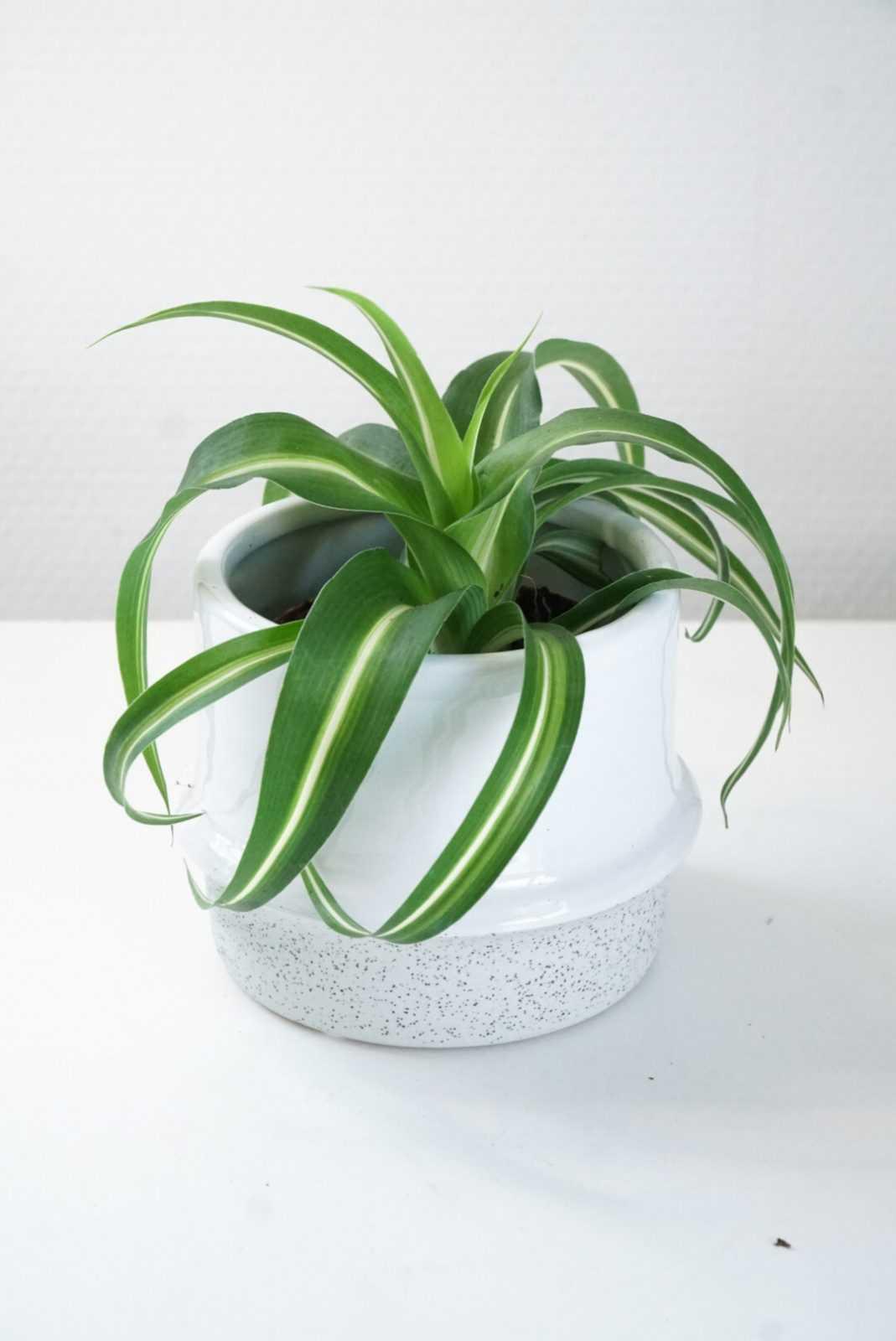 graslelie bonnie chloripythum stek plant pot