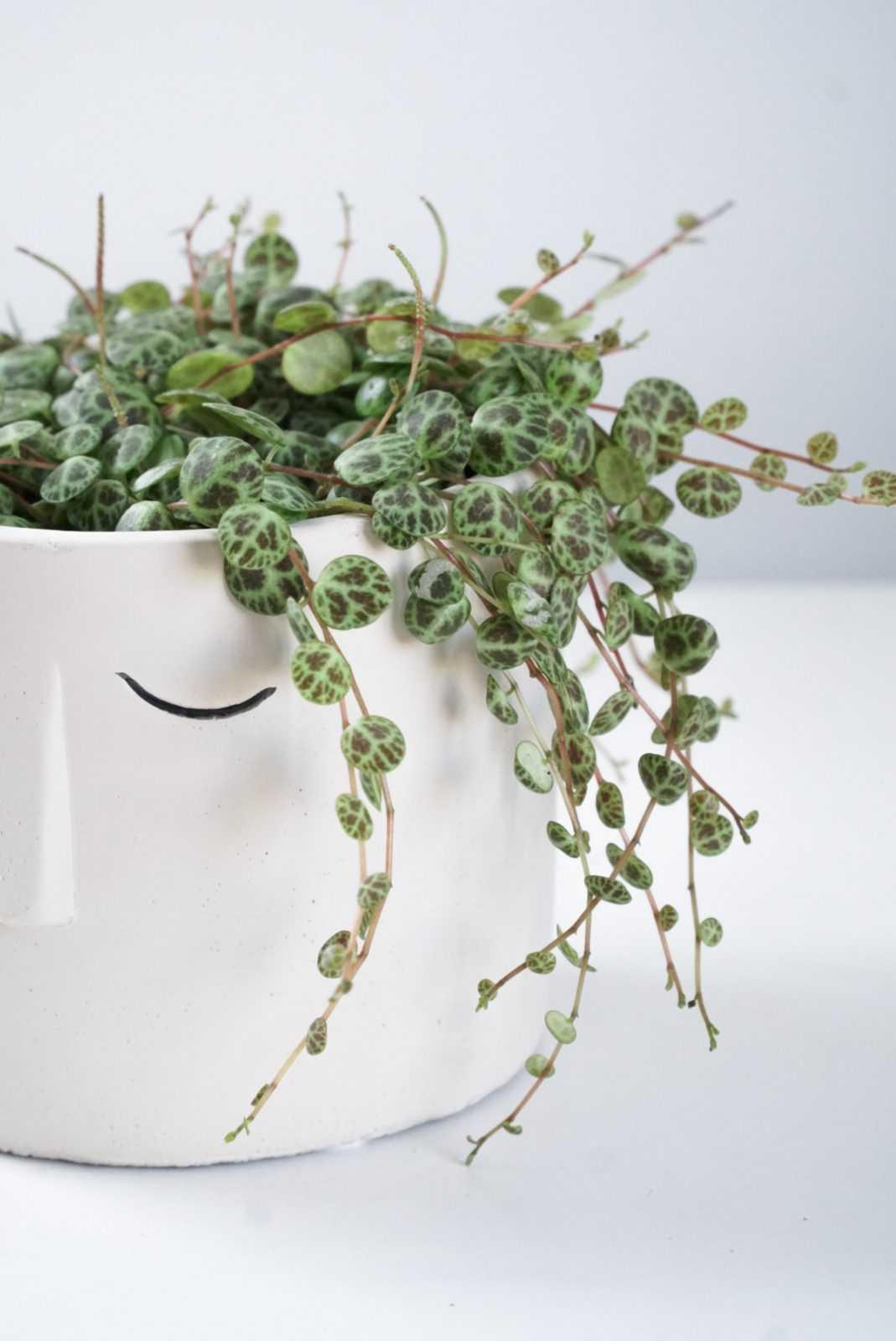 string of turtles peperomia plant stek pot peperomia glas glaasje