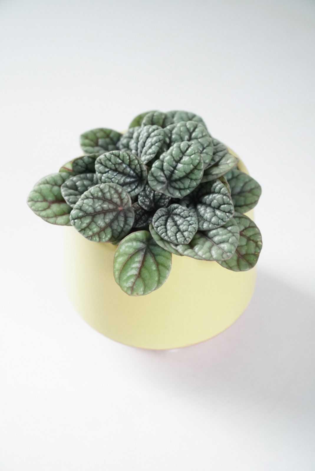 Peperomia 'Emerald Ripple' mini-plant buitenplant kamerplant plant plantje stek stekje terracotta pot potje glas glaasje