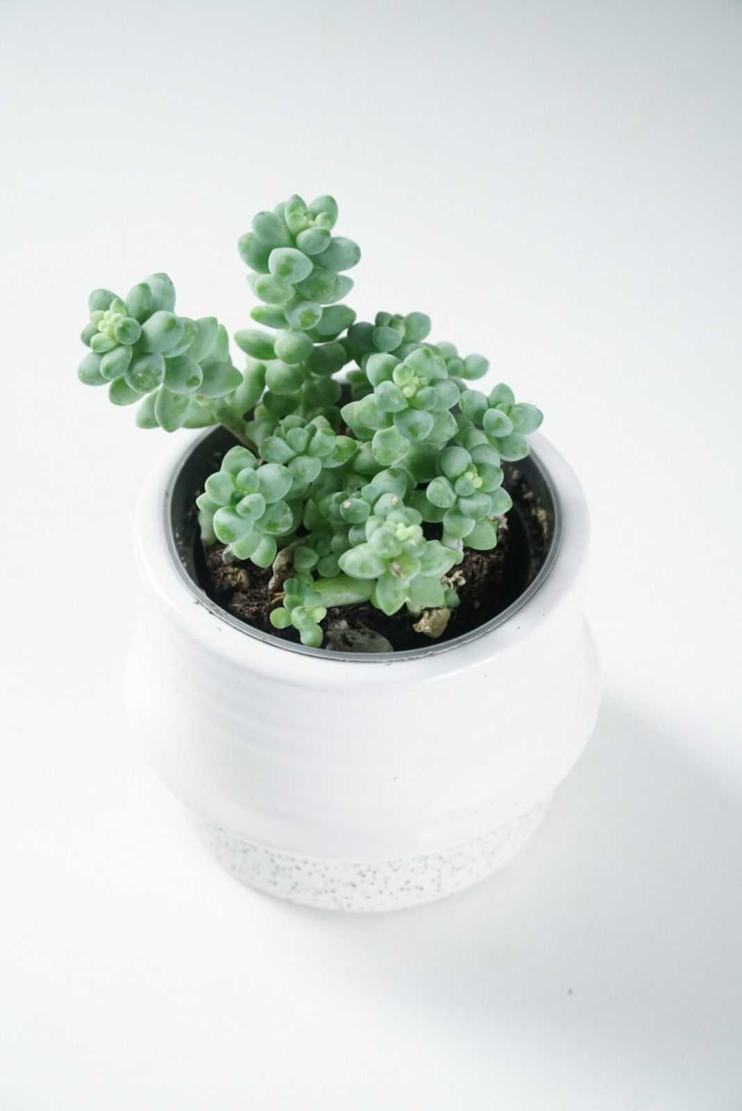 Sedum 'Burro's Tail' mini-plant buitenplant kamerplant  plant plantje stek stekje terracotta pot potje glas glaasje