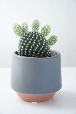 Opuntia Microdasys – 'Mickey Mouse cactus'
