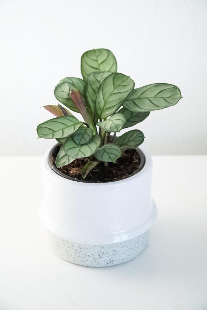 Gebedsplant (Ctenanthe amagris)