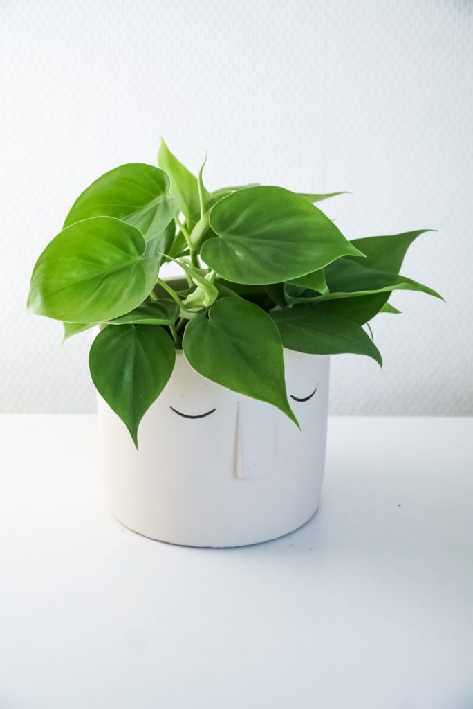 Philodendron Scandens (Groot)